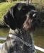 WYŻŁY - najmądrzejsze psy świata